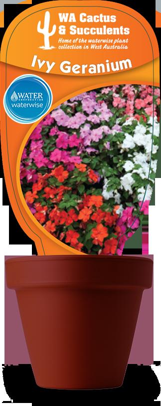 ivy-geranium1