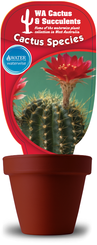 Cactus-Species-Echinopsis