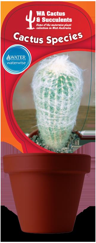 Cactus-Species-Espostoa