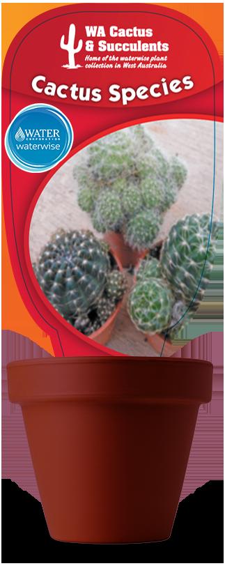 Cactus-Species-Rebutia