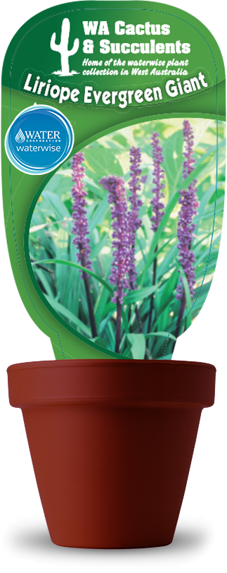 liriope_evergreen_giant